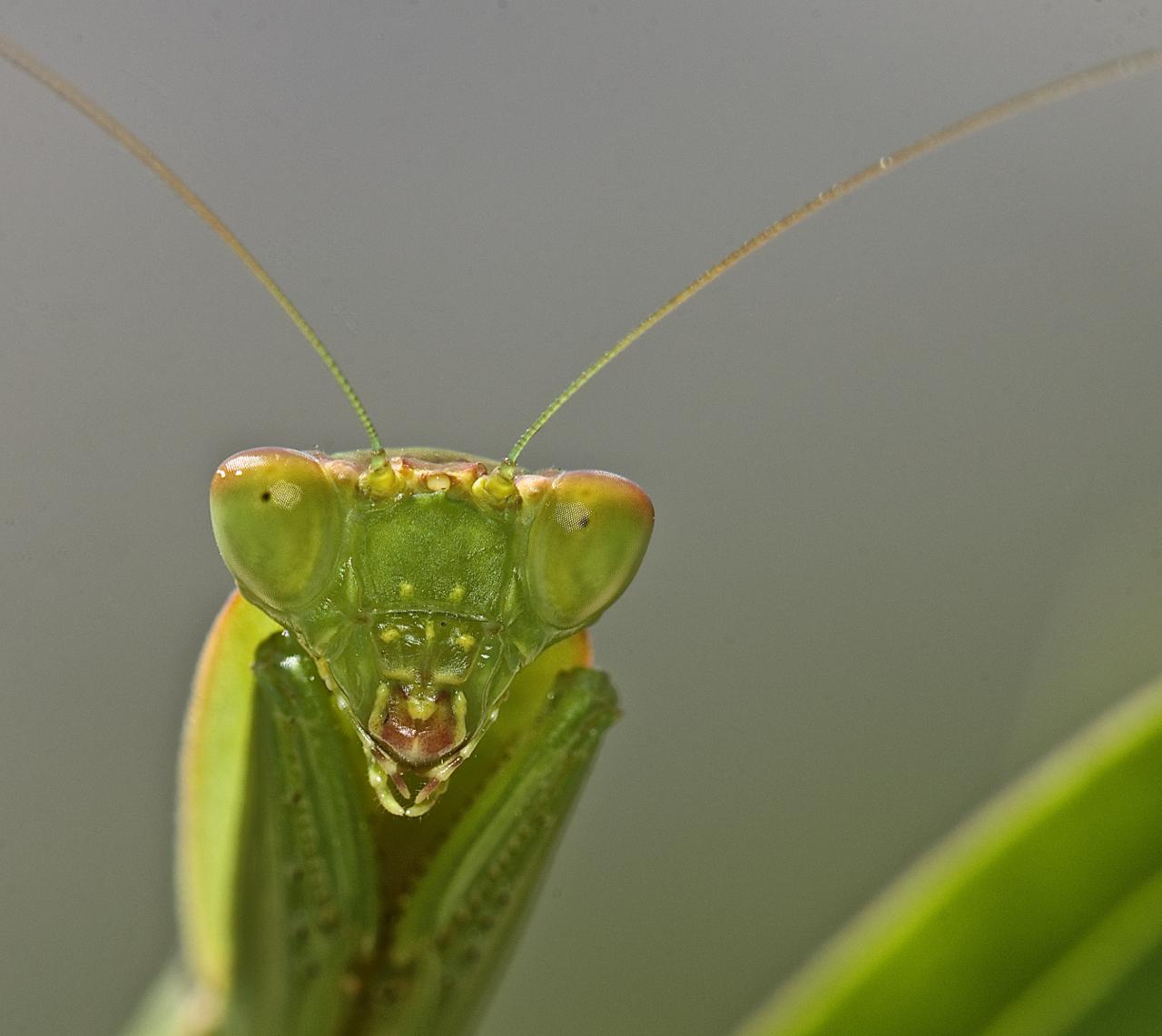 Hintergrundbilder : Grün, Natur, oben, Mund, Gottesanbeterin, Insekt ...