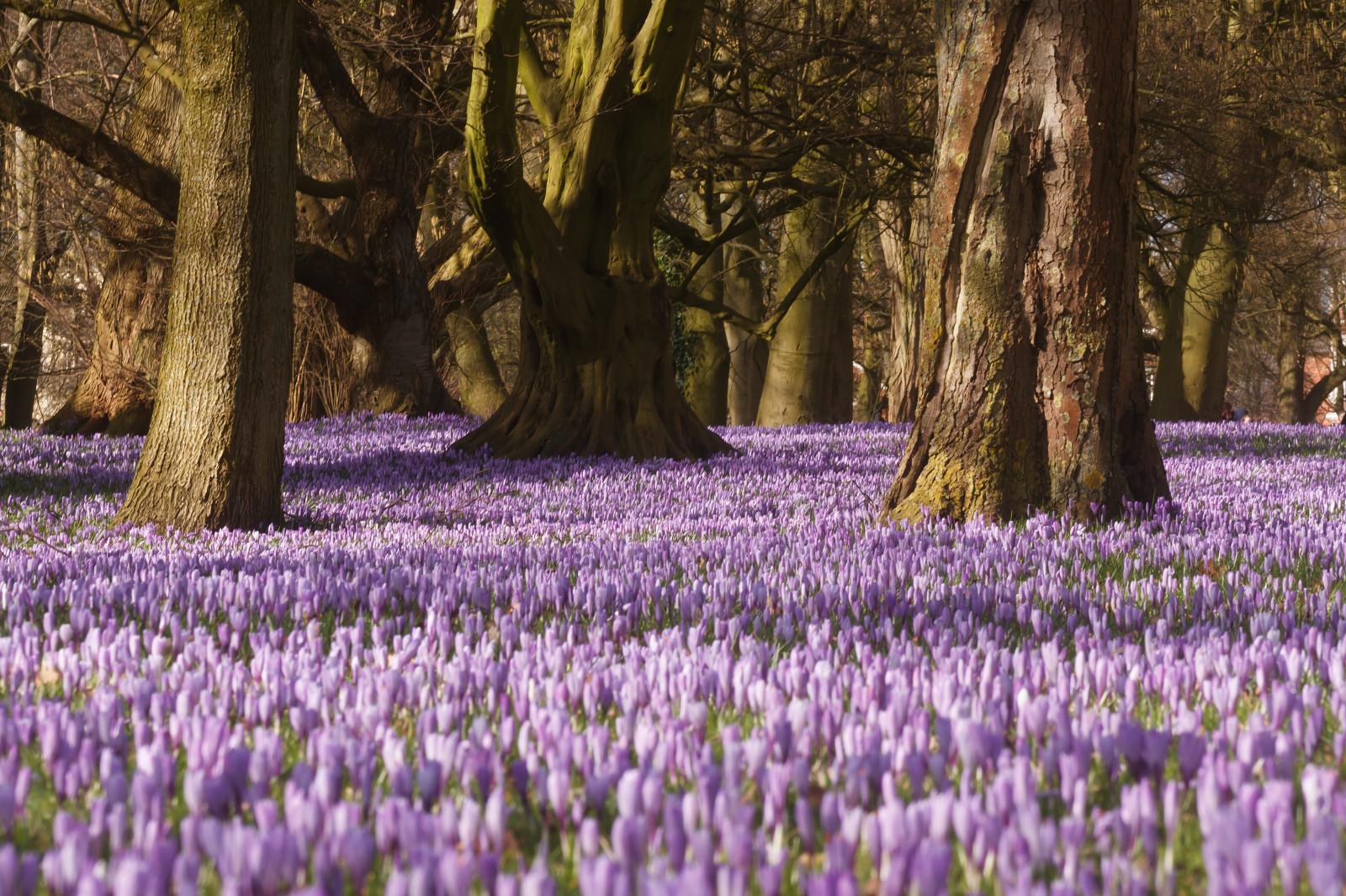Wallpaper : landscape, forest, grass, field, purple, branch, blossom, spring, crocus, tree ...