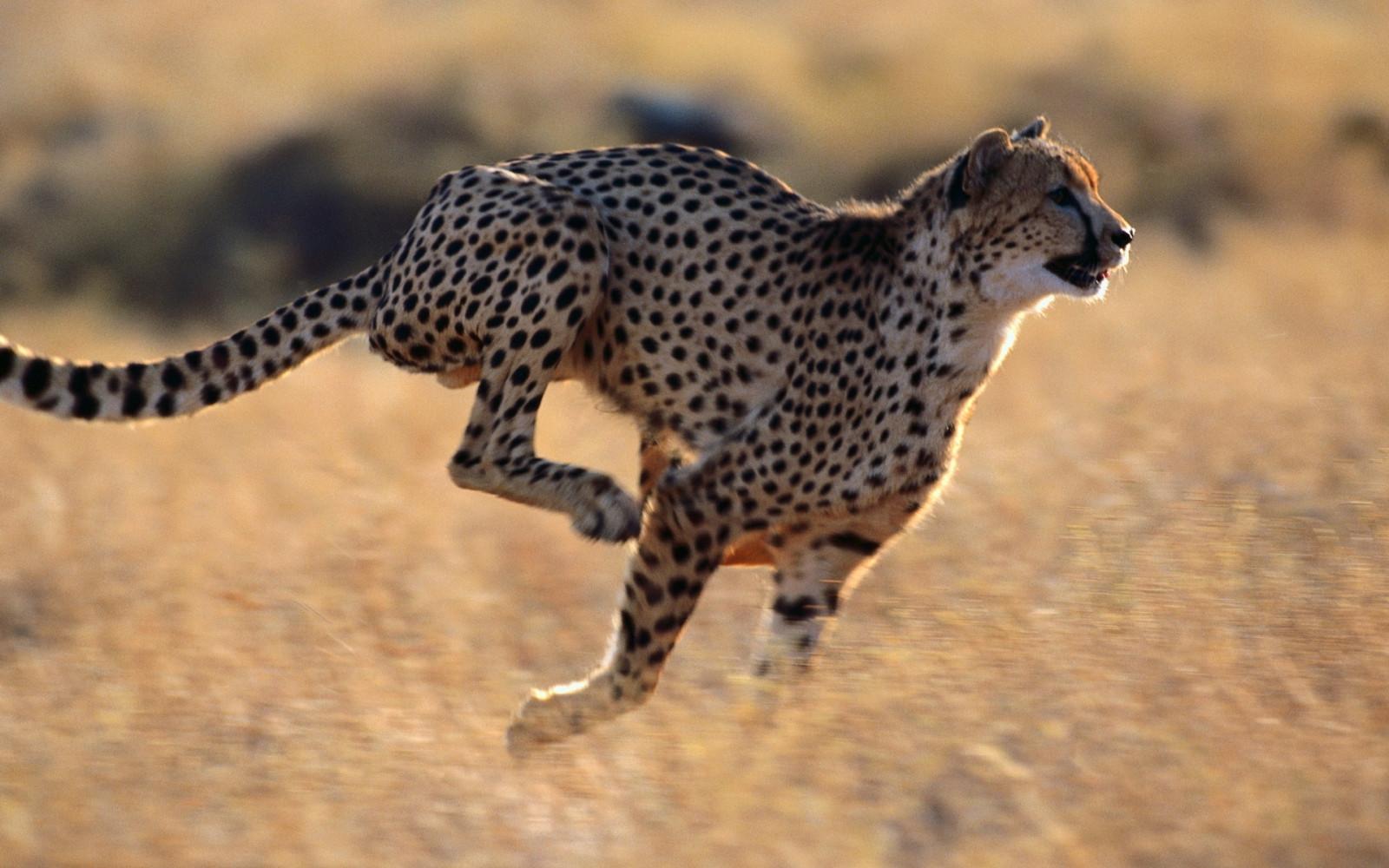 интересные фото черного гепардов в прыжке