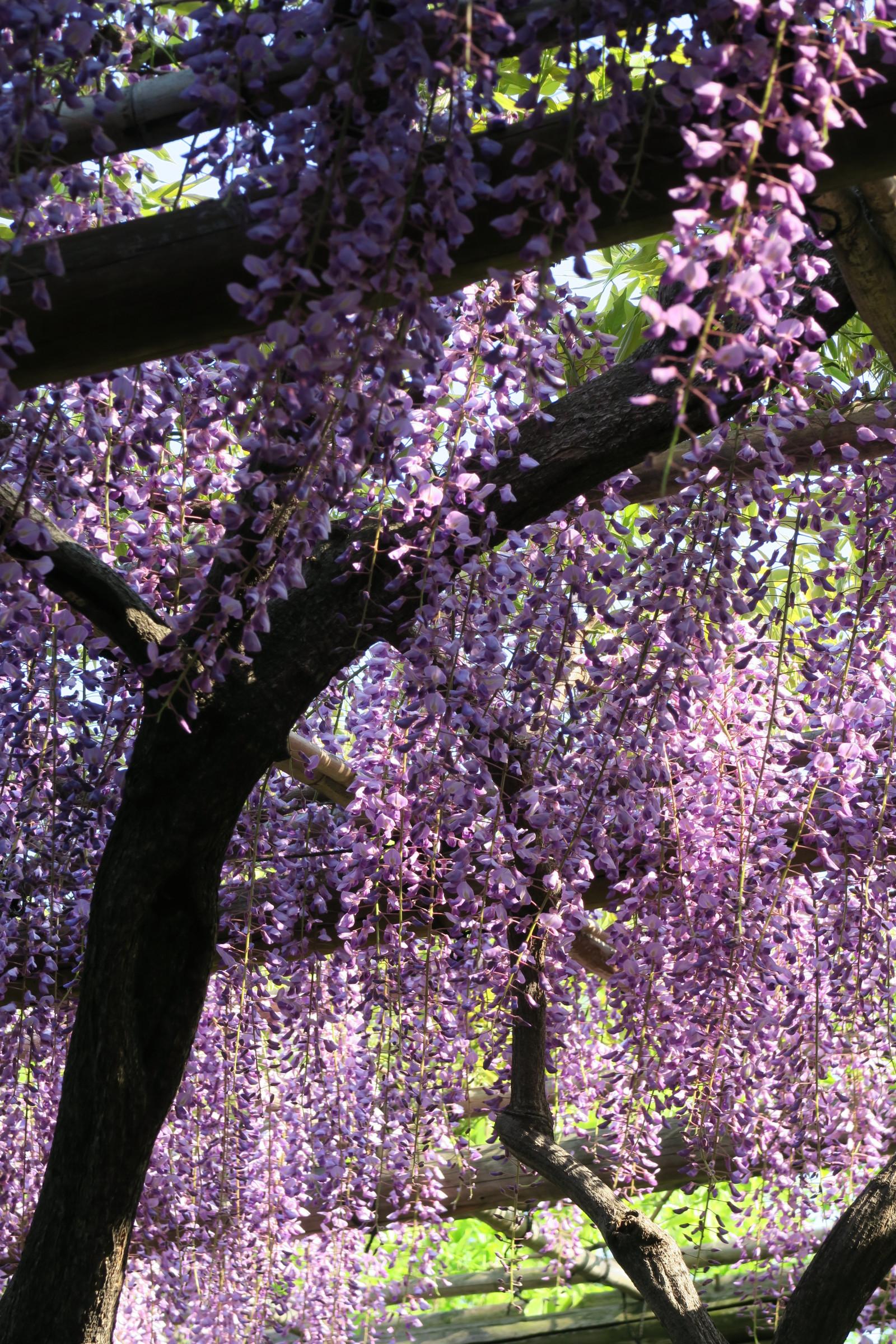 Fondos de pantalla jap n jard n rama canon flor de for Glicina planta