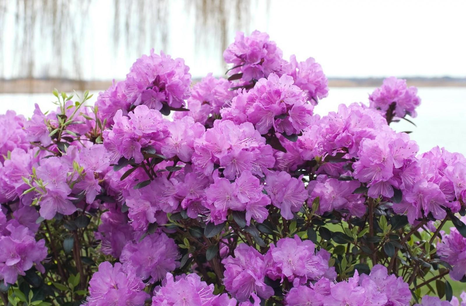 Цветы азалия открытки