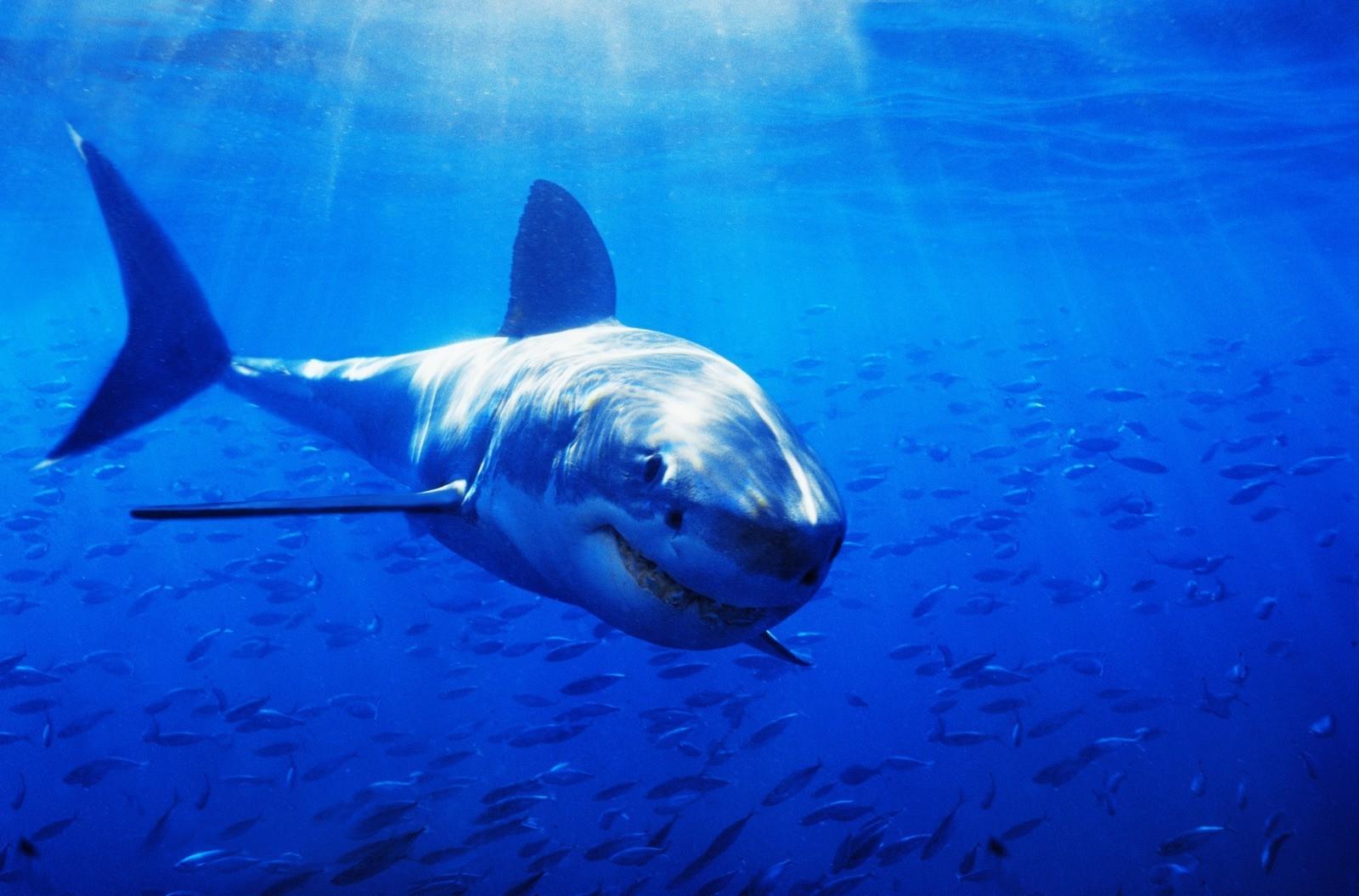 смартфон картинки про больших акул окончательно