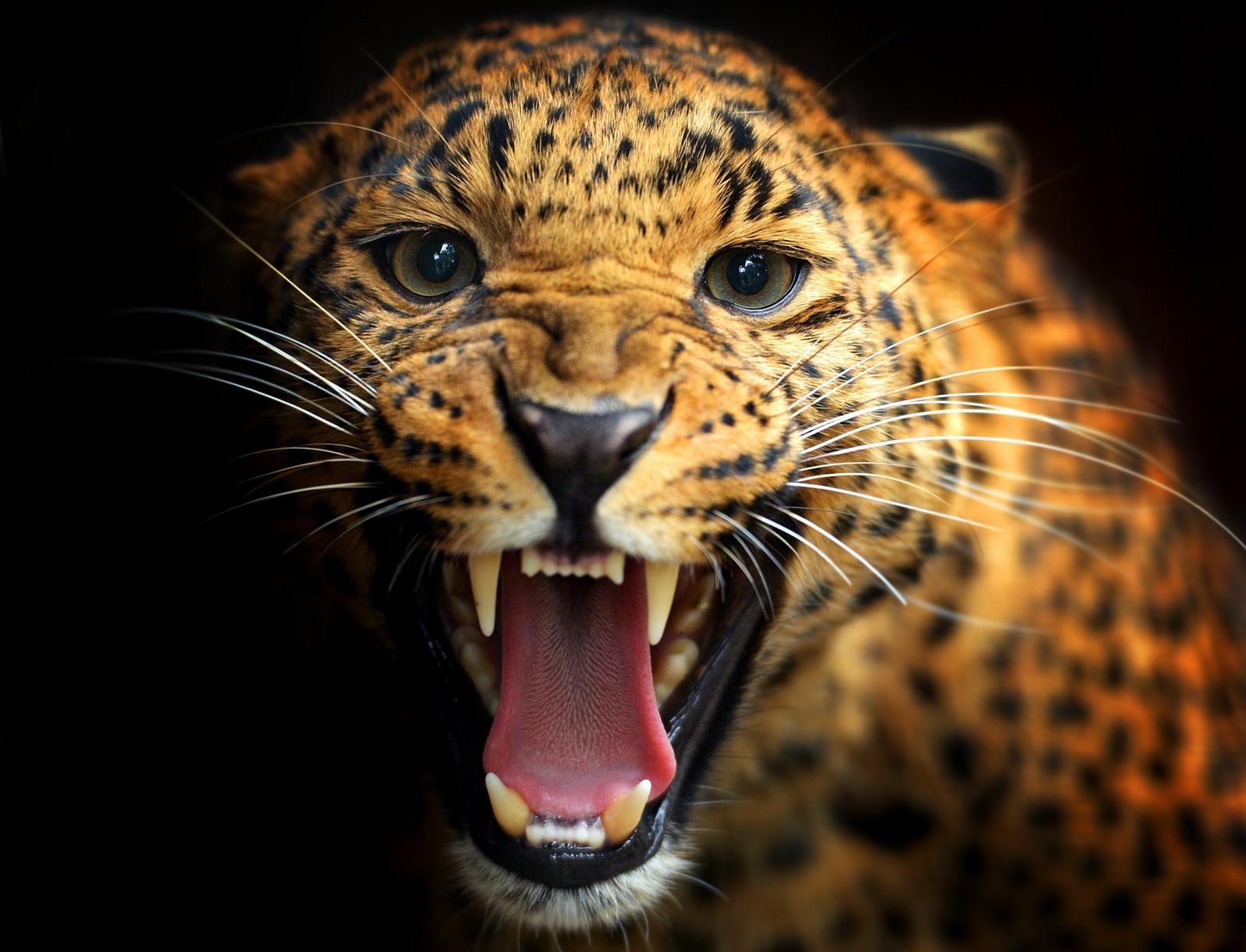 Animales Felino Leopardos Fondo De Pantalla Fondos De: Fondos De Pantalla : Animales, Fauna Silvestre, Gatos