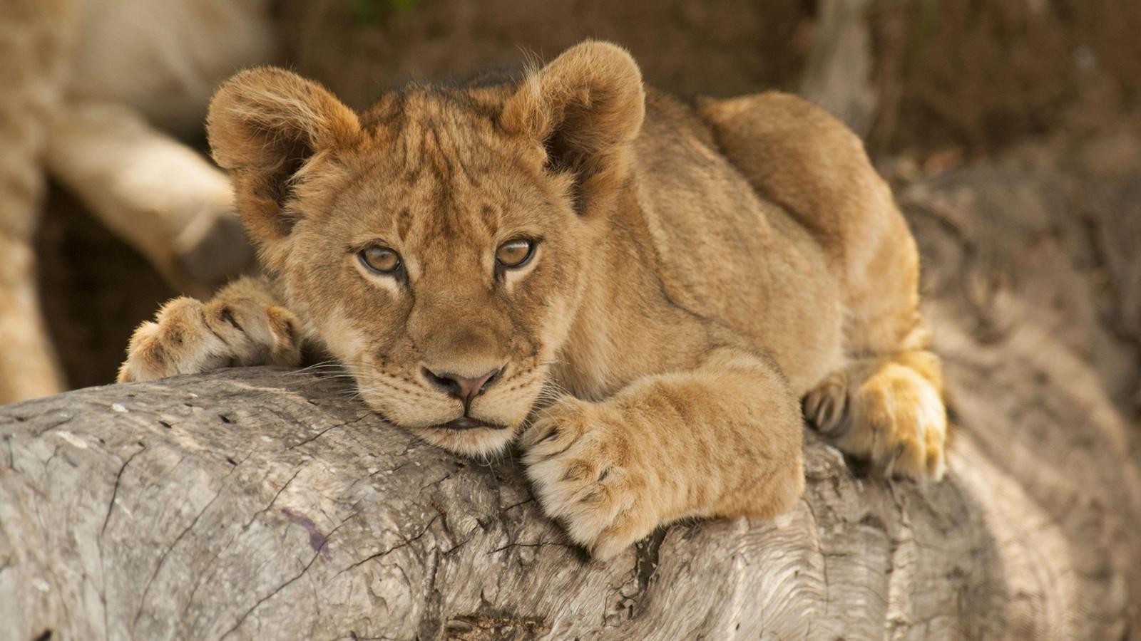 Sfondi 1920x1080 px animali leone 1920x1080 for Sfondi leone
