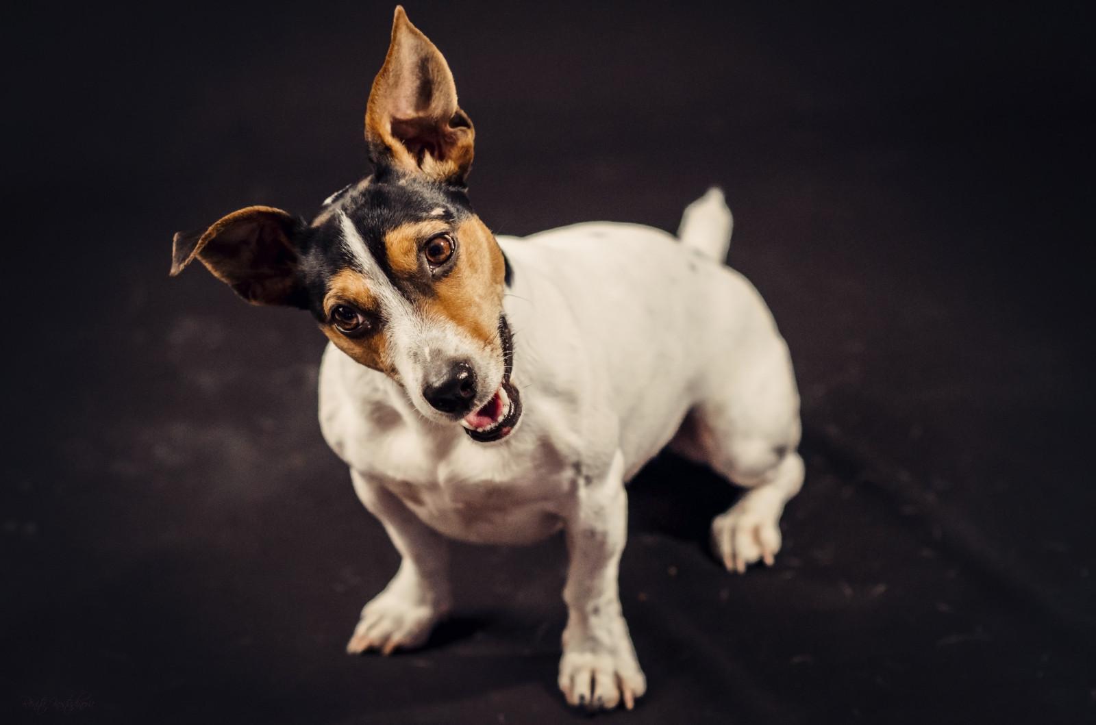 характер породы собаки тентерфилд терьер