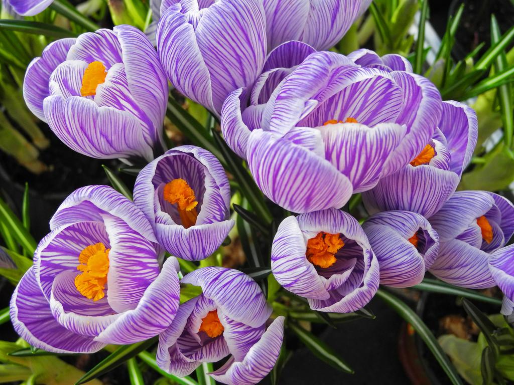 Flowers Nature Garden Season Spring Natur Blossoms Literary Blumen Crocus  Lila Lilac Garten Springtime Krokus Fruhling