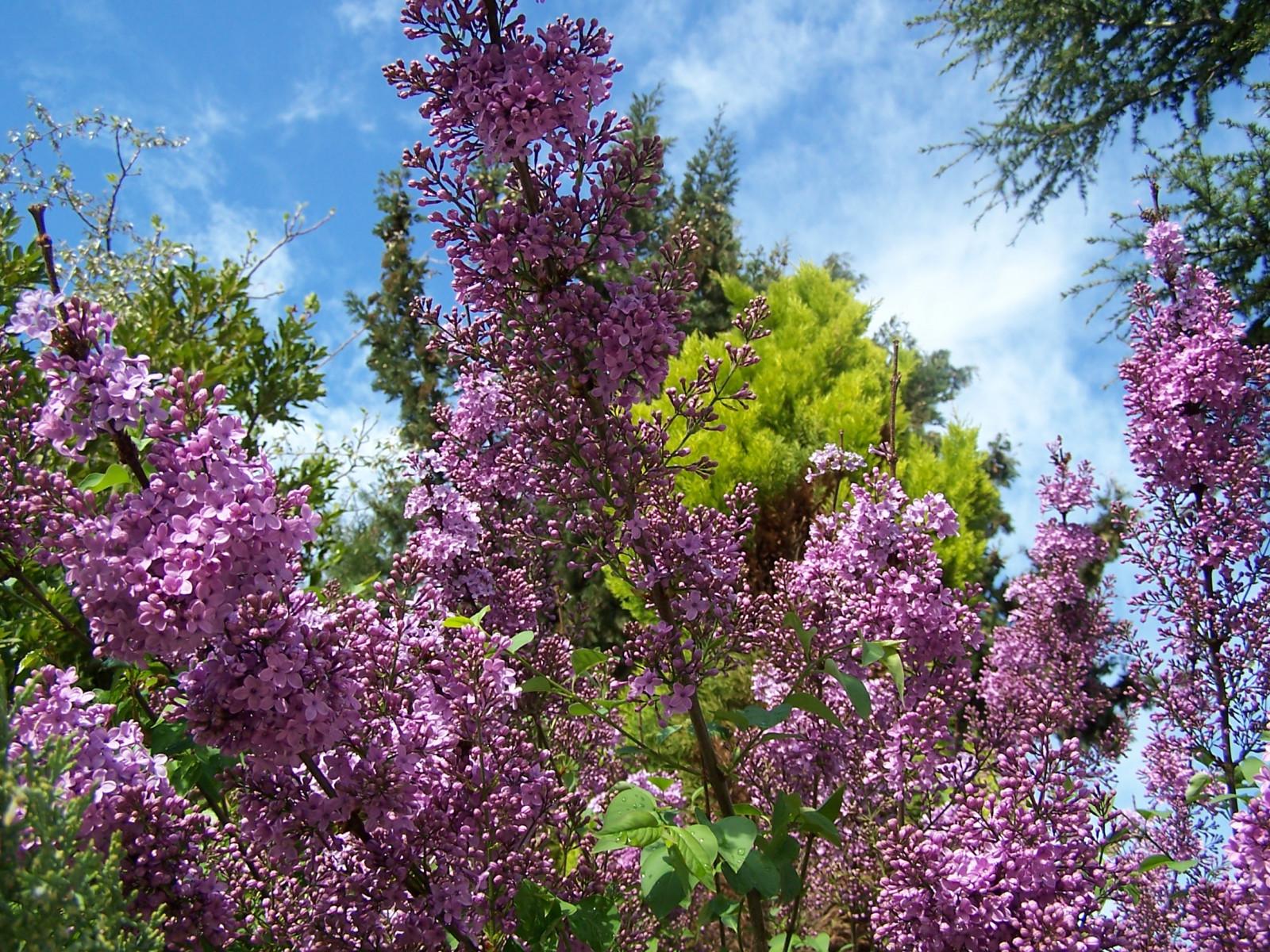 hintergrundbilder b ume blumen natur himmel pflanzen lila bl ht fichte griechenland