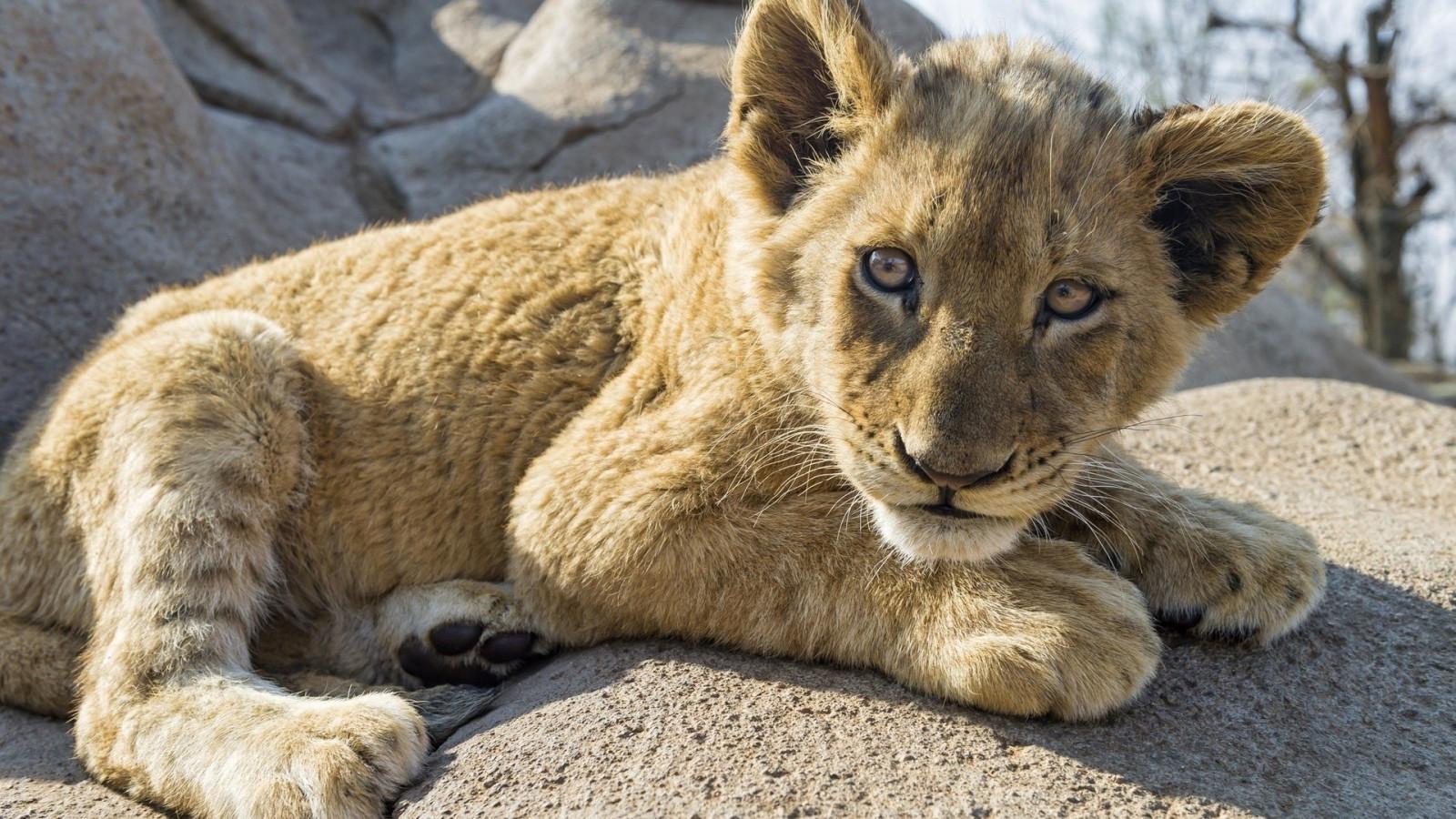Fond d'écran : animaux, la nature, Lion, faune, gros chats, zoo, moustaches, Puma, Safari ...
