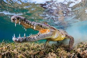 hintergrundbilder : tiere, tierwelt, biologie, reptil, krokodil, fauna, 1920x1080 px, wirbeltier