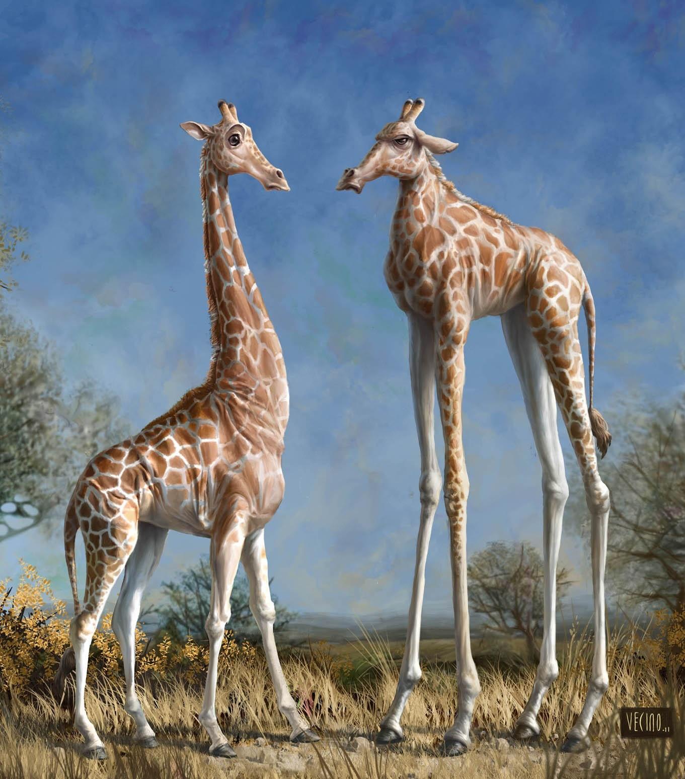 Fond D Ecran Girafes Faune Prairie Girafe Mammifere Vertebre Giraffidae Savane 1361x1548 Uberlost 119130 Fond D Ecran Wallhere