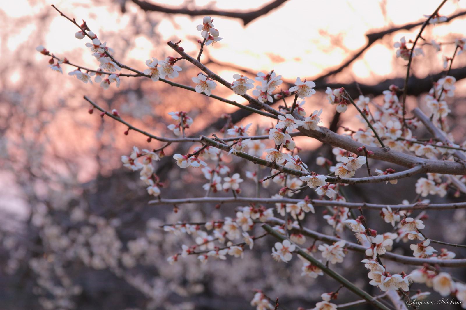 Arbol De Cerezo Japones fondos de pantalla : japón, luz de sol, Árboles, flores