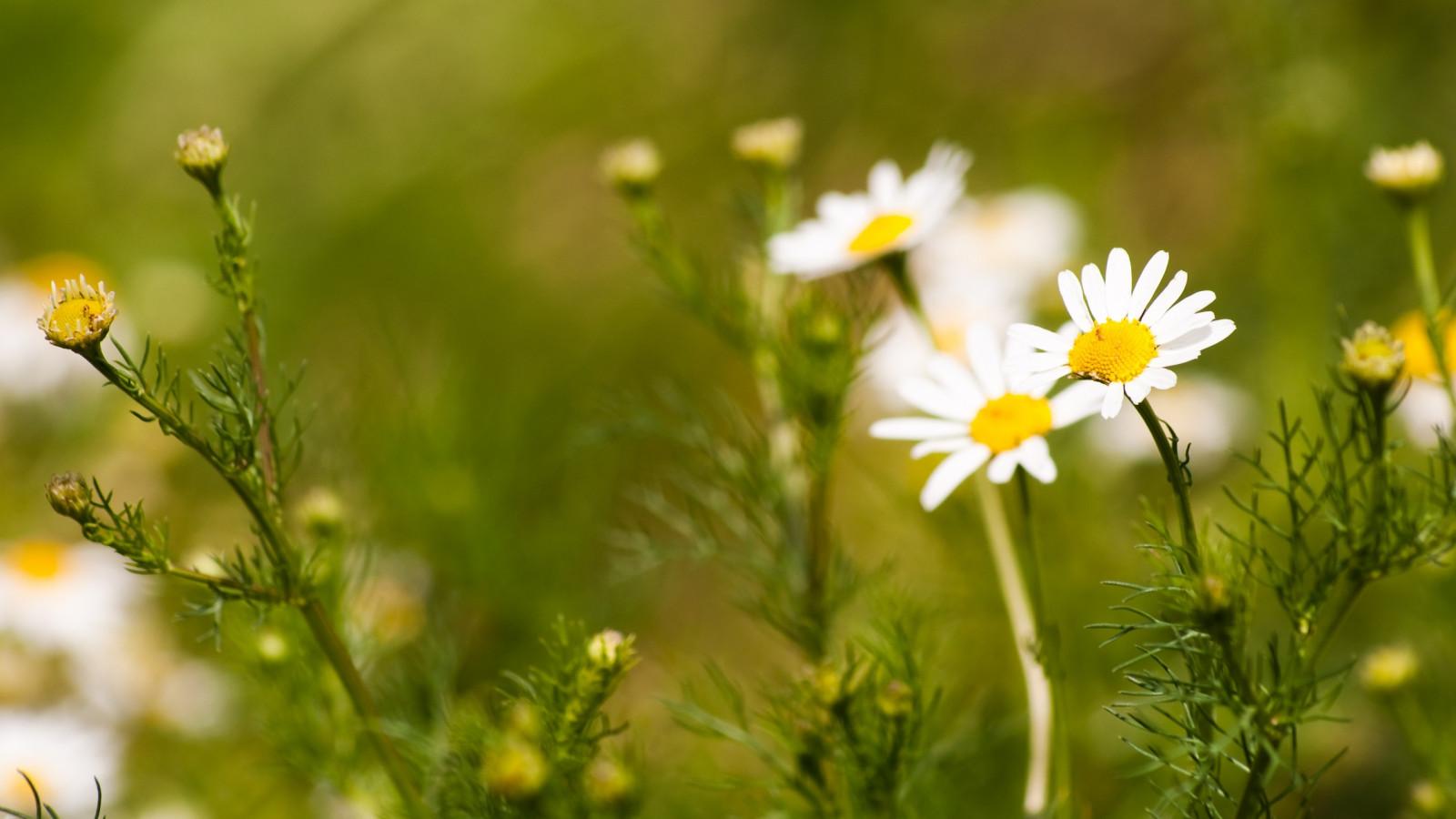 Wallpaper Sinar Matahari Bunga Bunga Alam Bidang Hijau Kuning Mekar Bunga Aster Padang Rumput Menanam Flora Bunga Liar Halaman Rumput Botani Tanaman Tanah Tanaman Berbunga Merapatkan Fotografi Makro Keluarga Rumput Keluarga Daisy