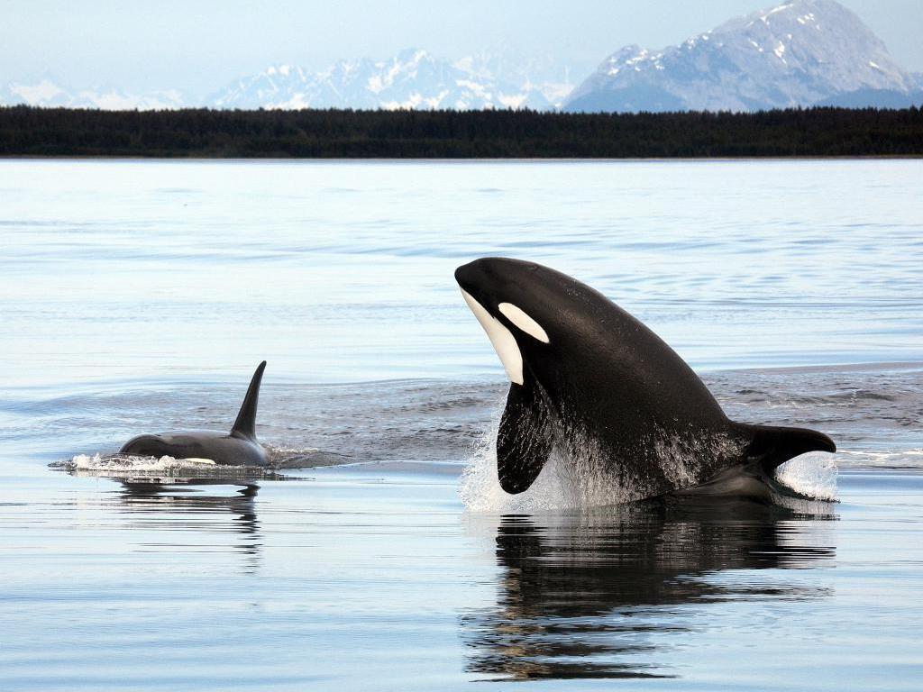 デスクトップ壁紙 水 野生動物 鯨 オルカ フィン 哺乳類