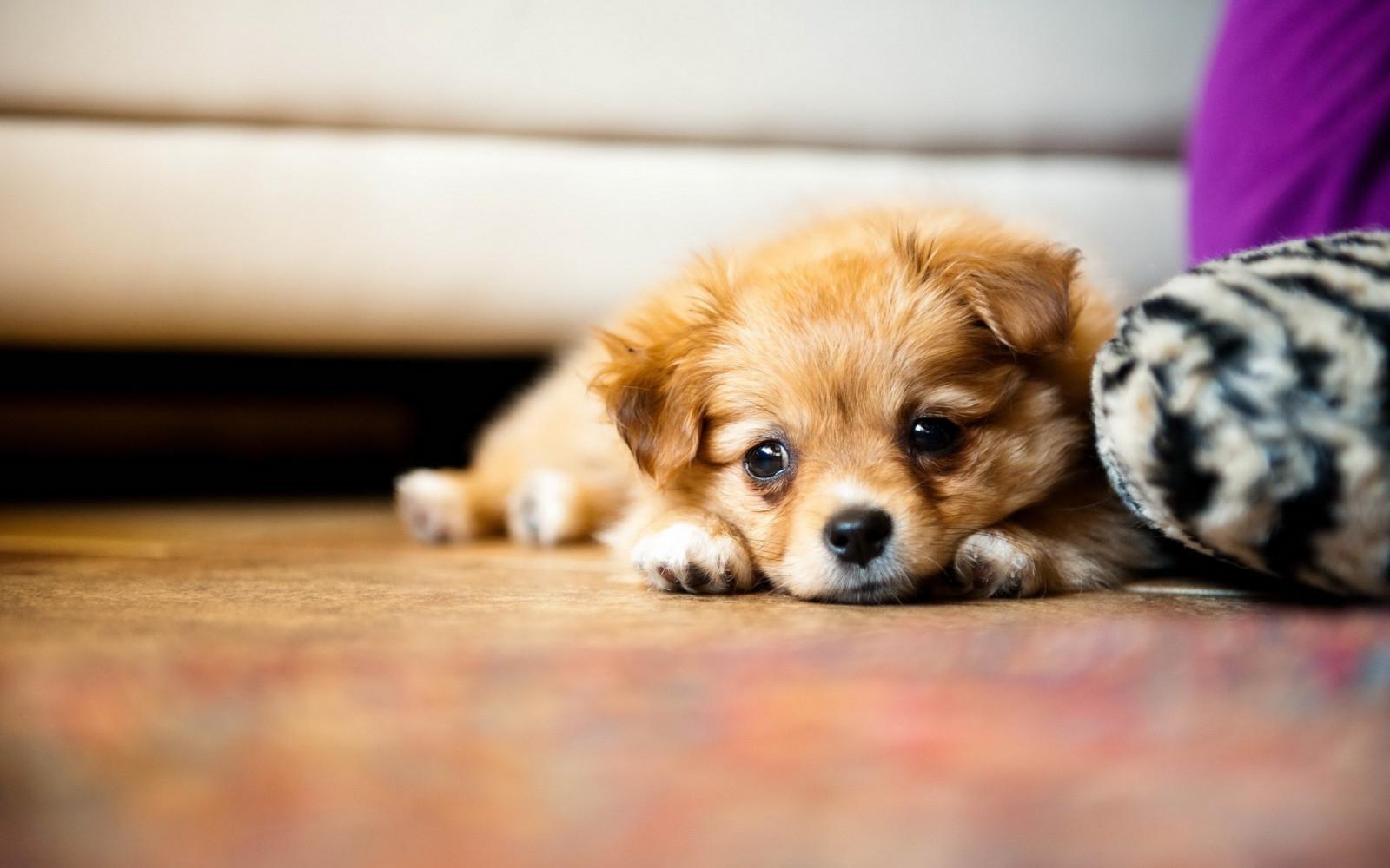 デスクトップ壁紙 赤ちゃん 子犬 ポメラニアン 脊椎動物 閉じる