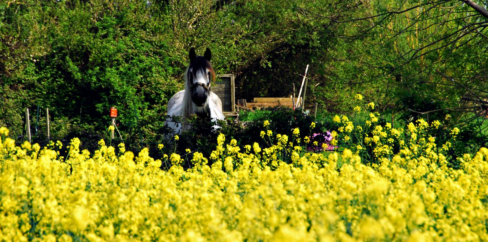 hintergrundbilder landschaft garten pferd gras feld gelb tierwelt nikon pflanzen. Black Bedroom Furniture Sets. Home Design Ideas