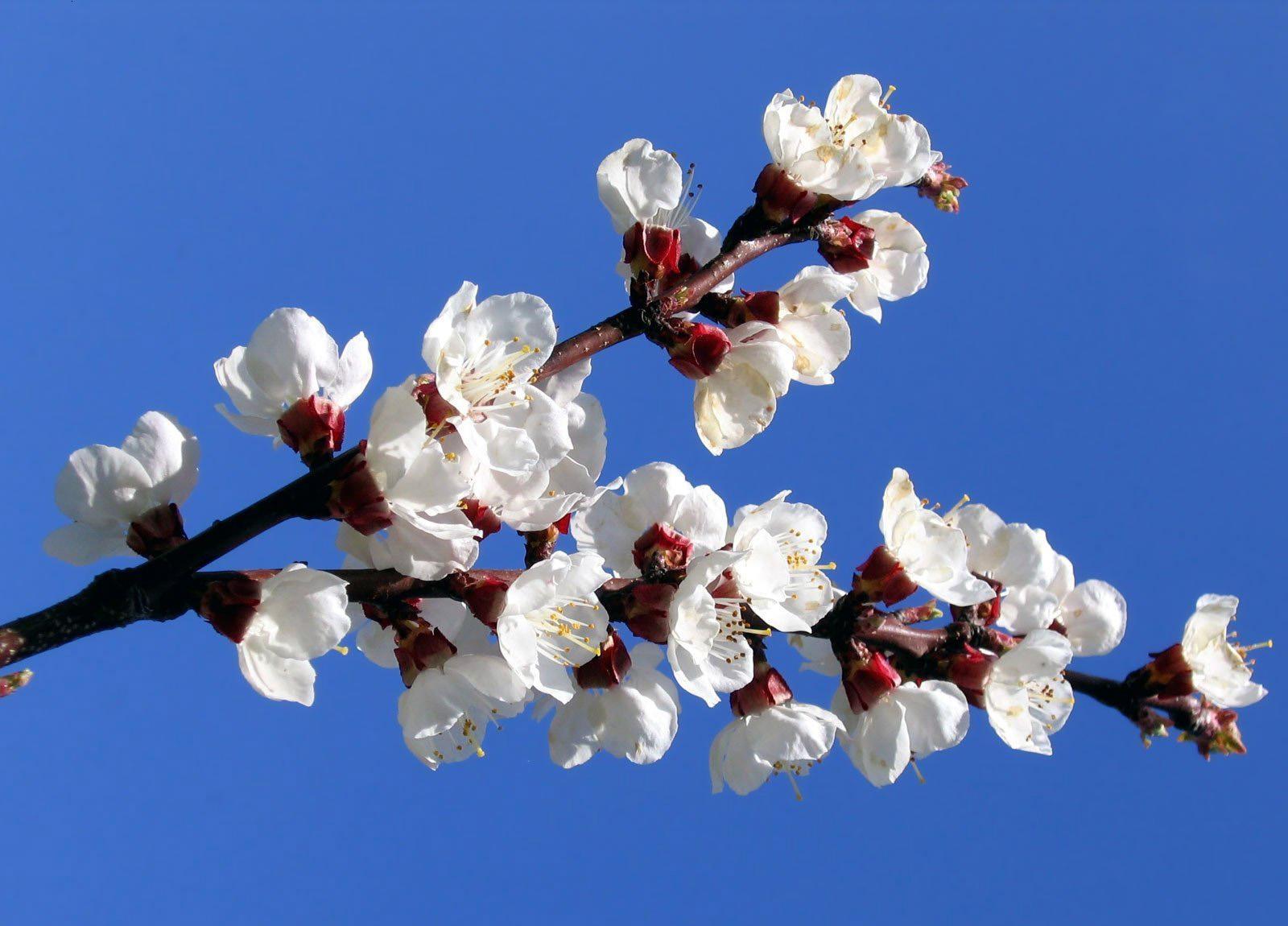 ветка цветущего дерева картинки