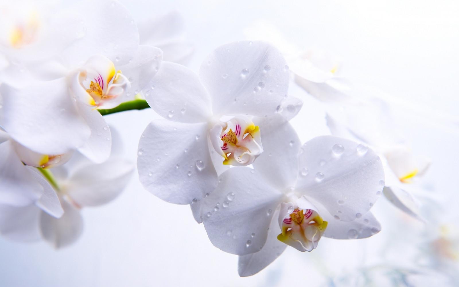 fond d 39 cran orchid es fleurs bourgeons blanc p tales macro 2560x1600 wallhaven. Black Bedroom Furniture Sets. Home Design Ideas