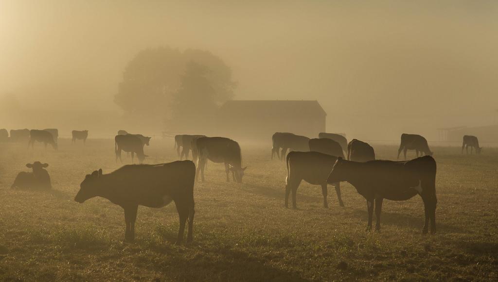 Wallpaper Cows Landscape Farm Farmland Stock Livestock Fields Fence Building Barn Shack Dairy Heard Tree Trees Grass Fog Foggy Sunrise Sun Light Diffuse Muted Farmer Dawn 1024x581 1033505 Hd Wallpapers Wallhere