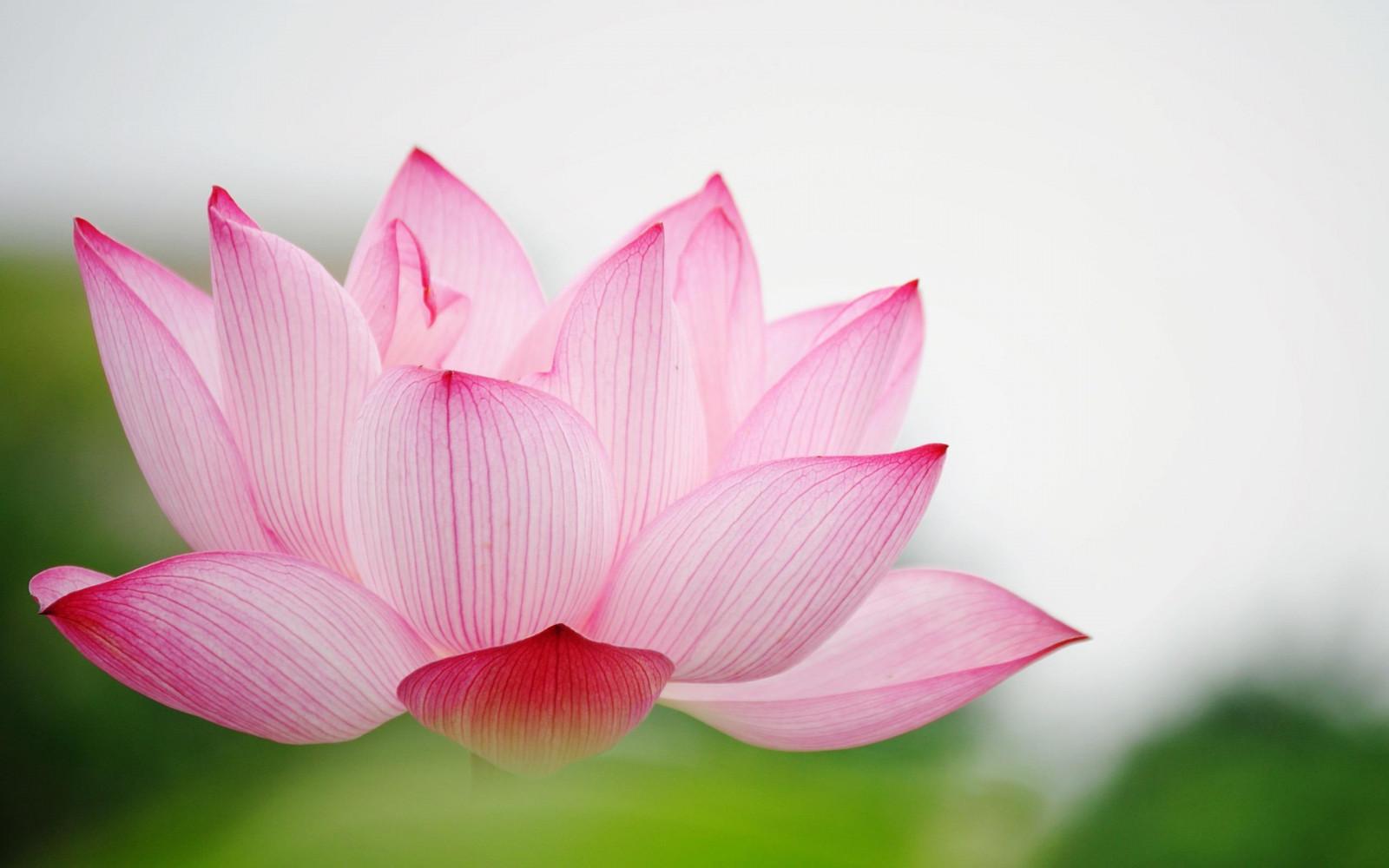 Открытки цветок лотос из