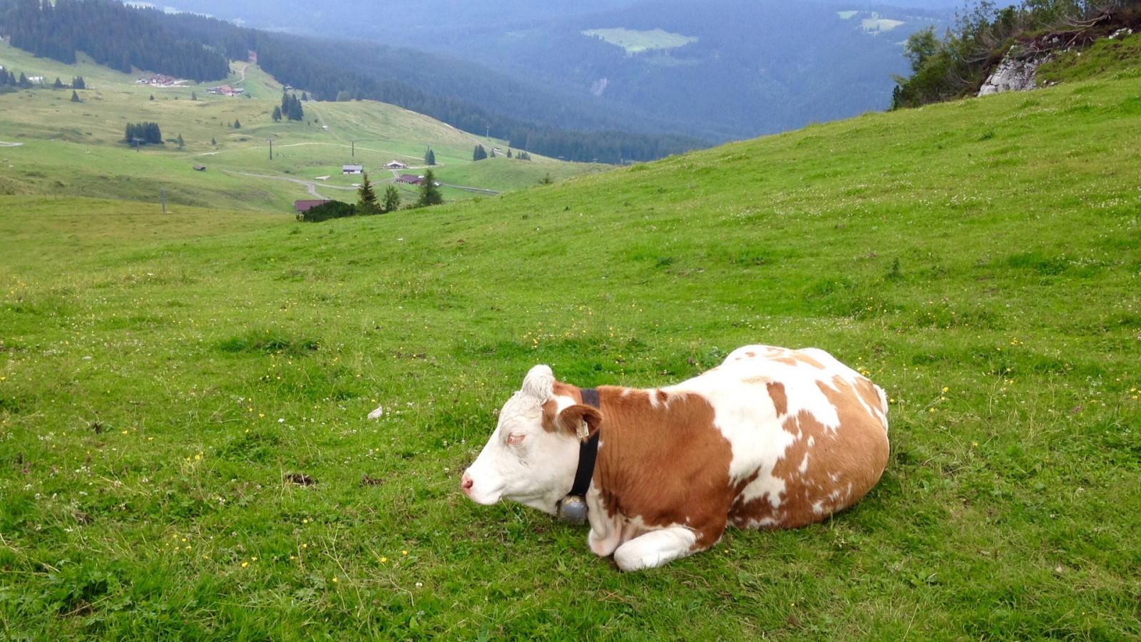 ждут красивые картинки коровы на пастбище малой