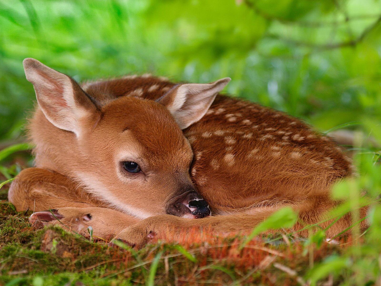Fondos De Pantalla De Animales Bebes: Fondos De Pantalla : Ciervo, Animales, Césped, Fauna