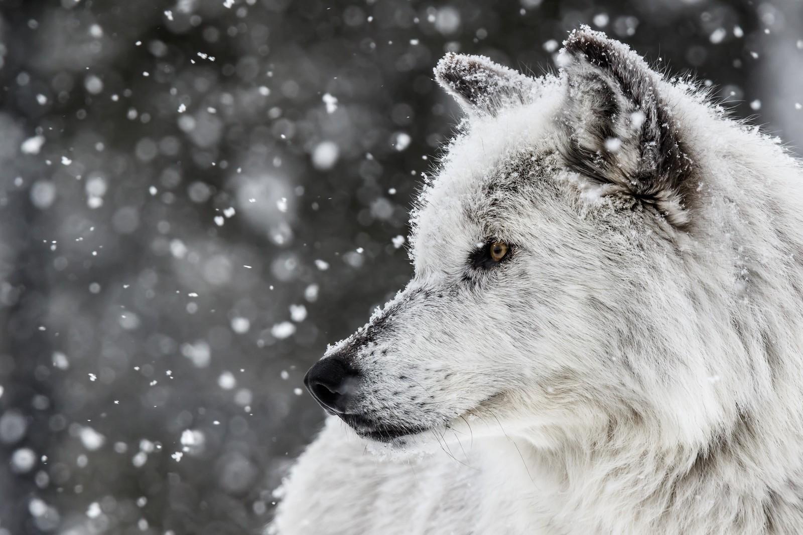 Fond d 39 cran animaux monochrome la nature neige for Fond ecran hiver animaux