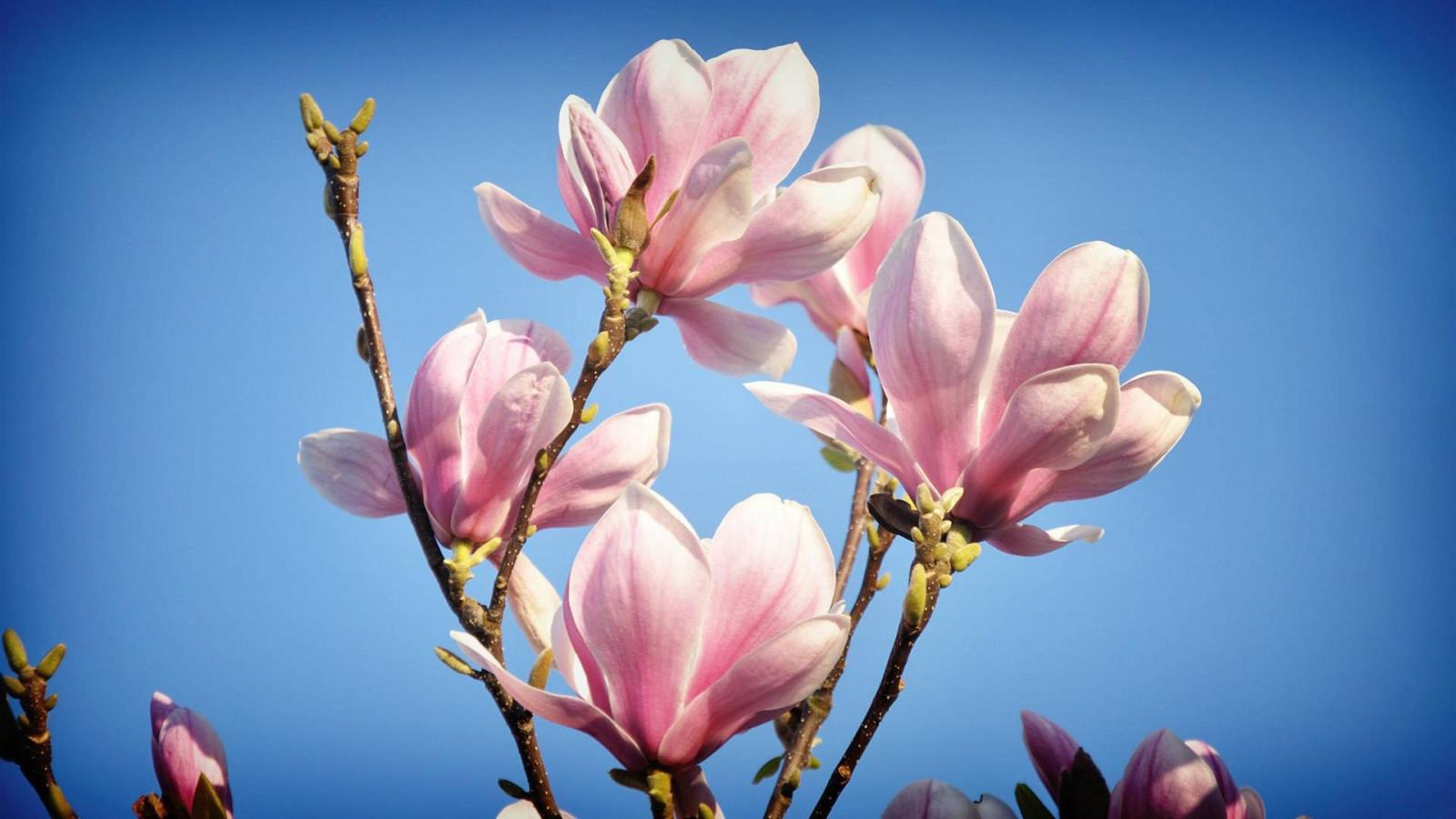sky, blue, blossom, spring, magnolia, flower, plant, flora, branches, petal, botany, land plant, flowering plant, macro photography, magnolia family
