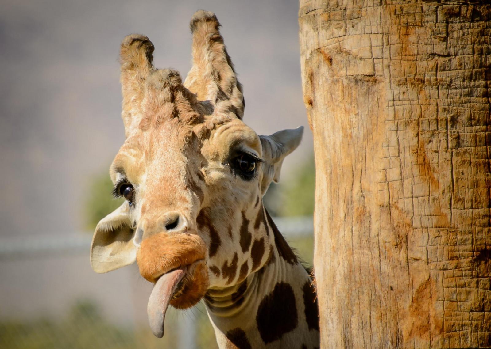 Приколы с жирафом картинки, для