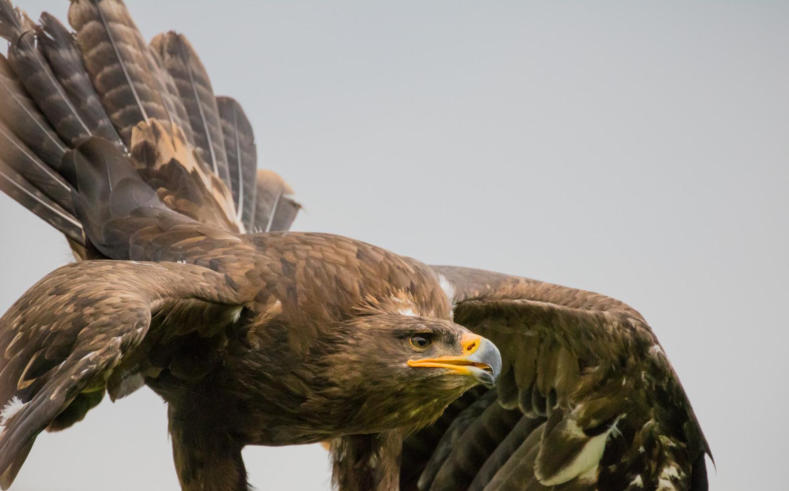 трудно строить соколы ястребы и орлы хищные птицы фото чаще всего все