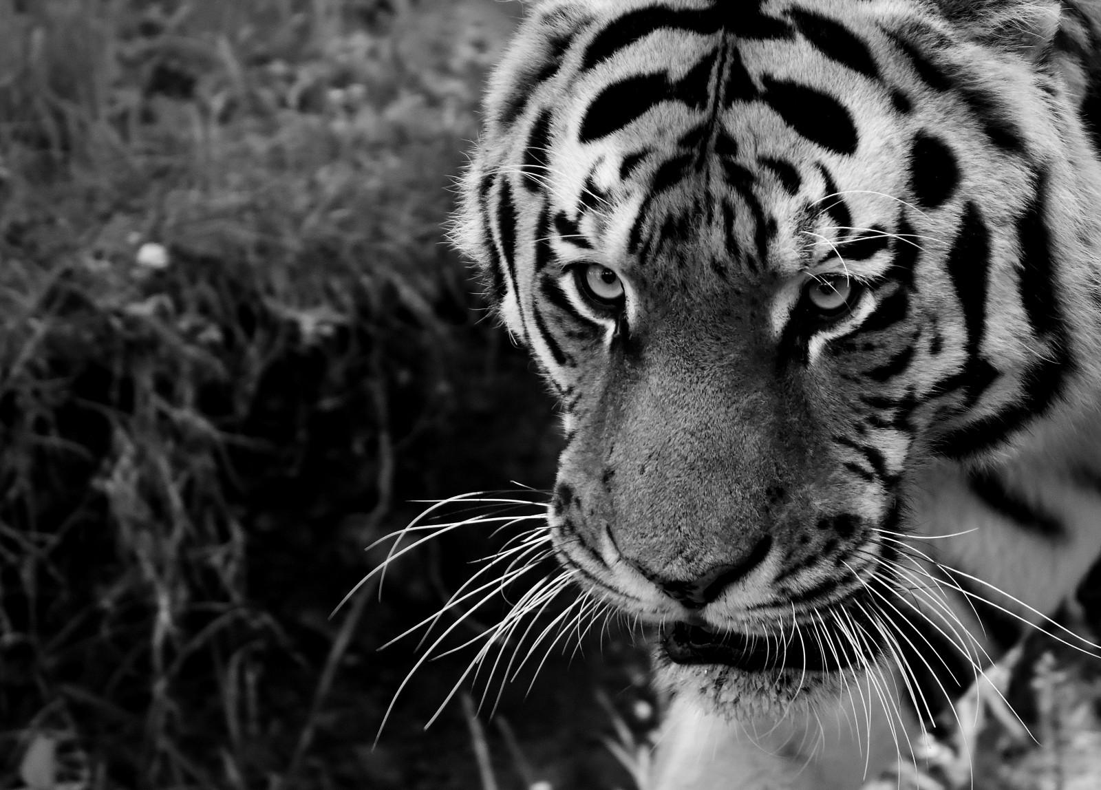 картинки на телефон черно белые тигр делятся животных-охотников