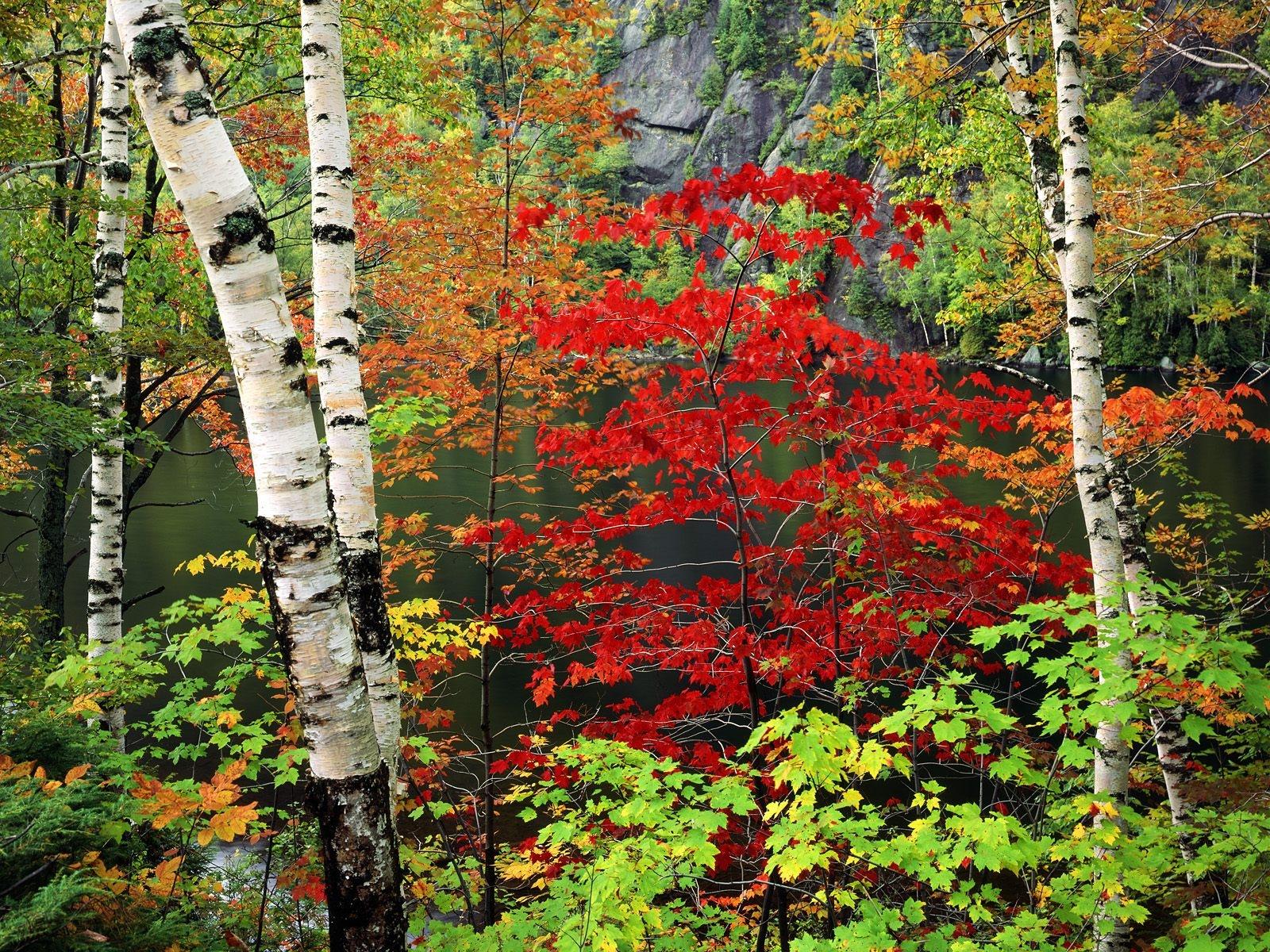 Fond d 39 cran des arbres jardin russie bouleau arbre - Arbres a feuilles caduques ...