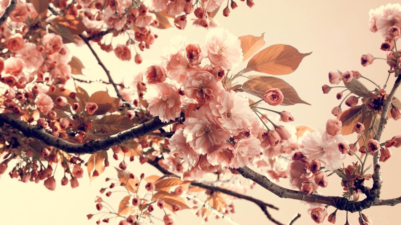 Открытки сакура на ветру, открытки картинки