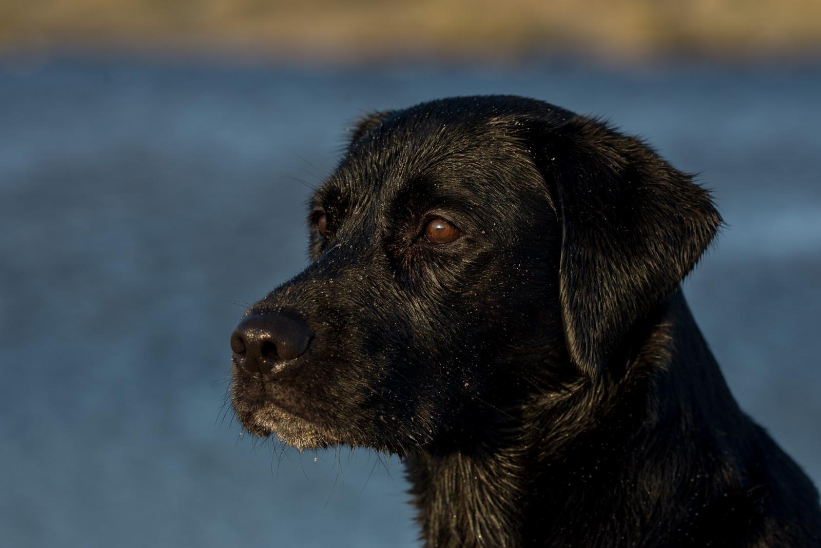 sporting dogs labrador retrievers birds of prey and - HD1600×1068