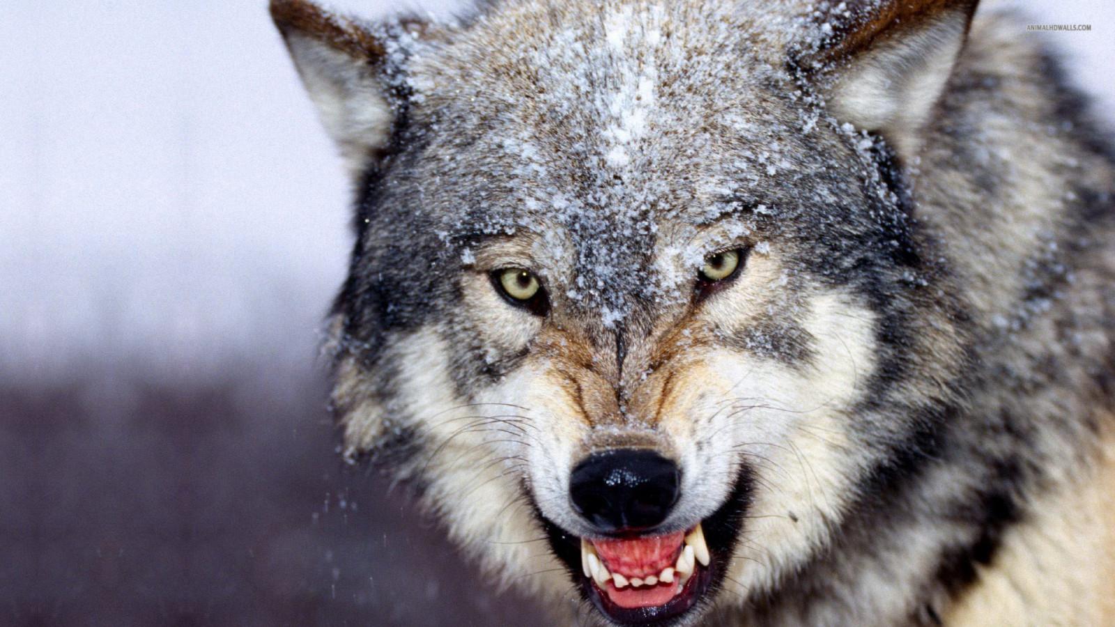 фото крупным планом волки оскал друга храните все