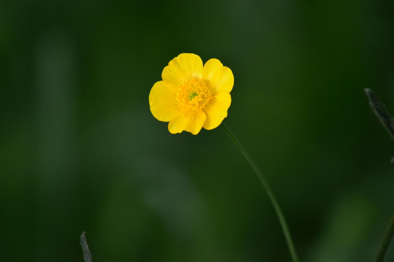Fondos De Pantalla Boton De Oro Flor De La Pasion Naturaleza