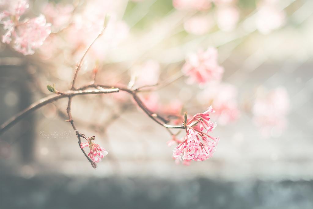 wallpaper sunlight flowers garden nature red closeup branch cherry blossom map mars. Black Bedroom Furniture Sets. Home Design Ideas