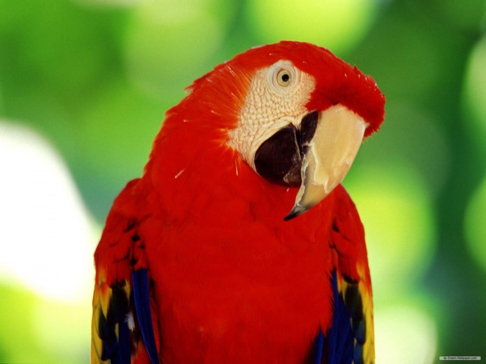картинки попугай красный своему логическому завершению