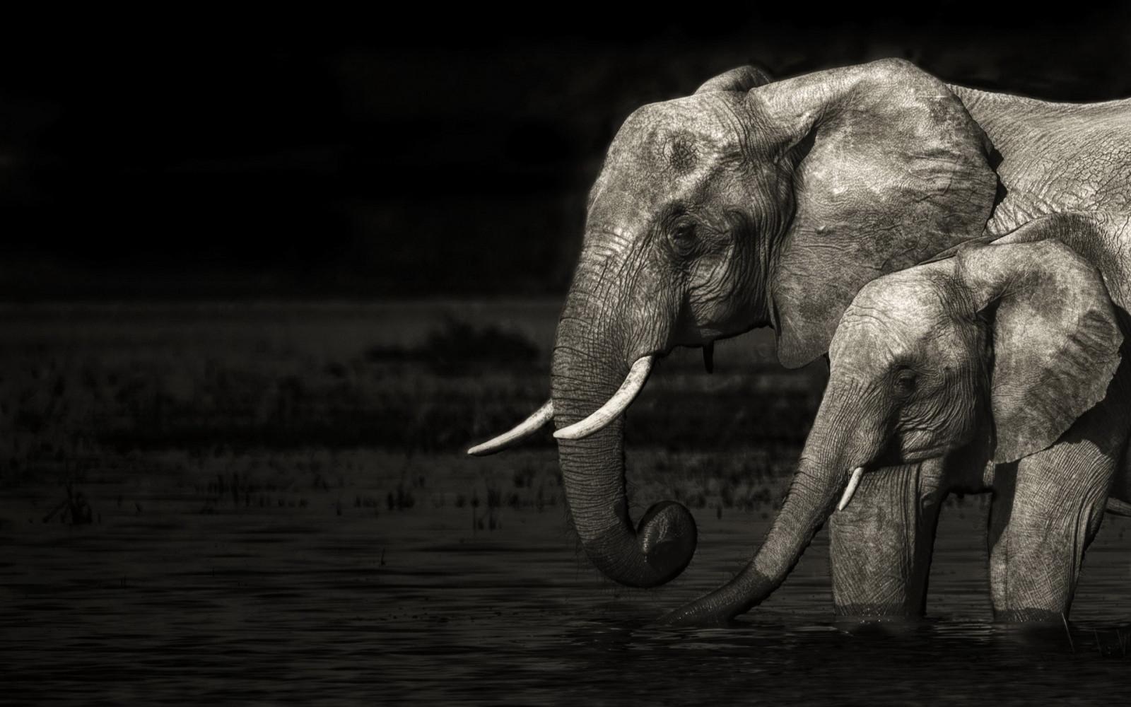 101+ Gambar Hewan Gajah Hitam Putih Terbaru