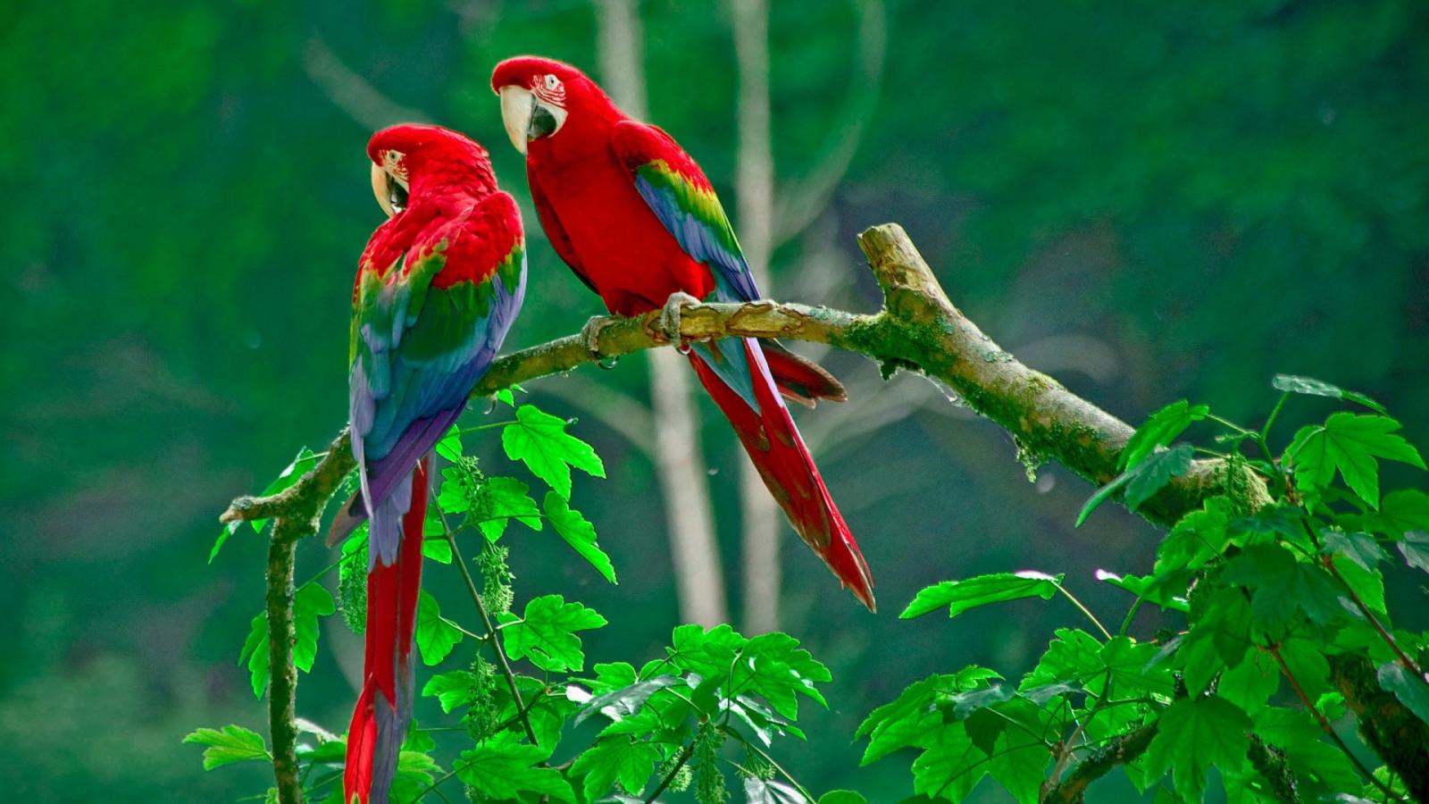 hintergrundbilder  tiere natur papagei ast grün