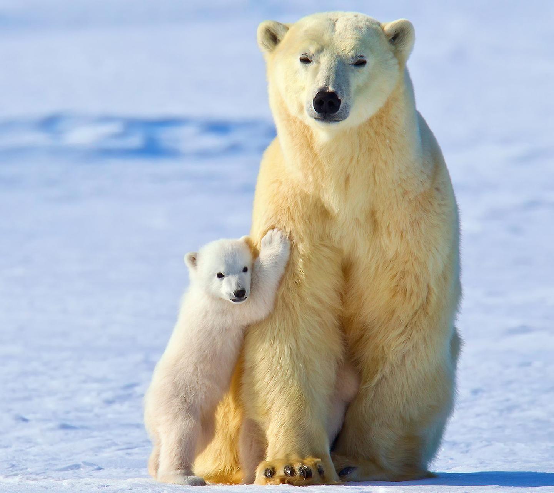 Fondos De Pantalla : Animales, Osos Polares, Animales