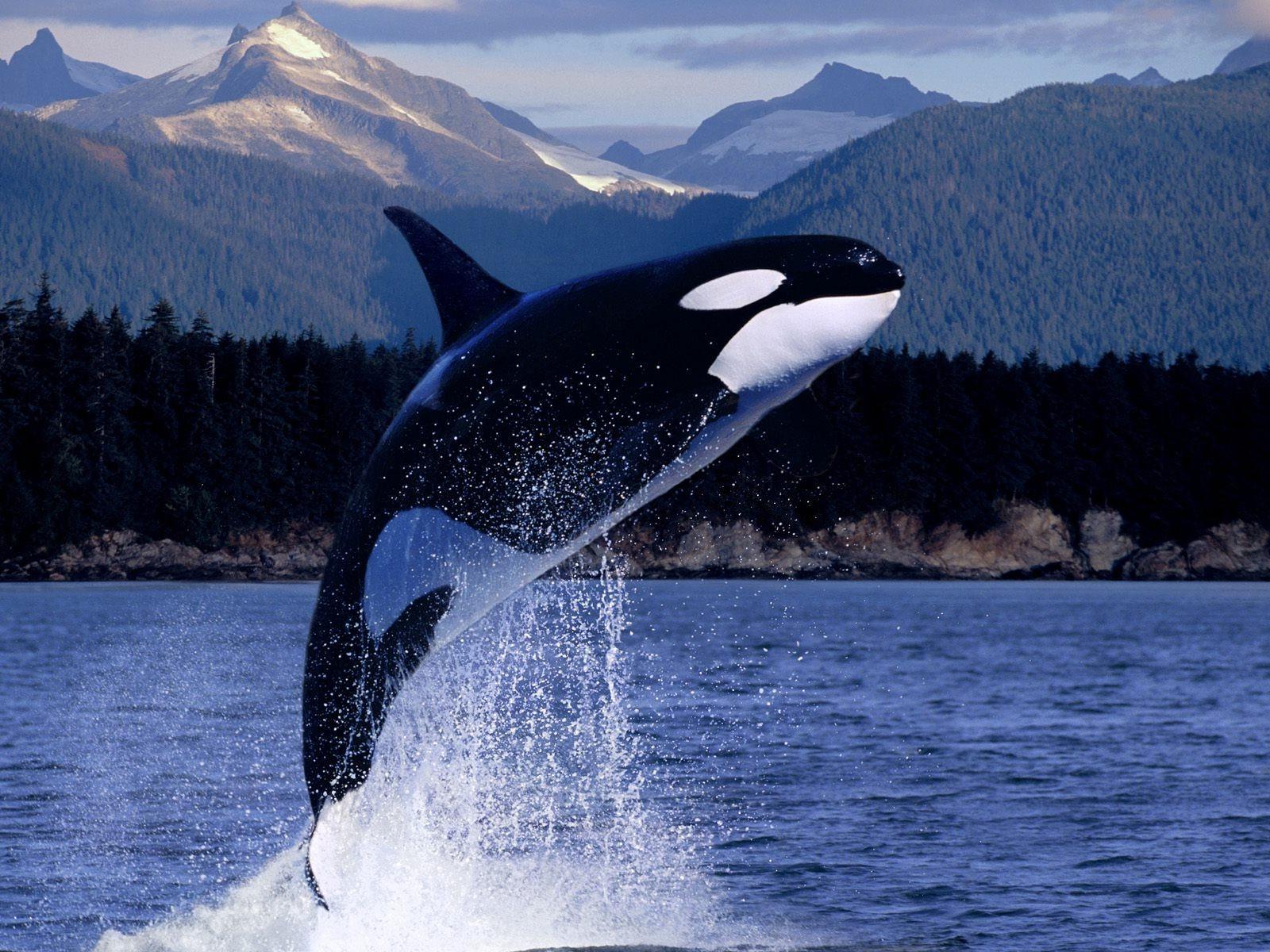 デスクトップ壁紙 鯨 ザトウクジラ 哺乳類 1600x1200 Px 脊椎