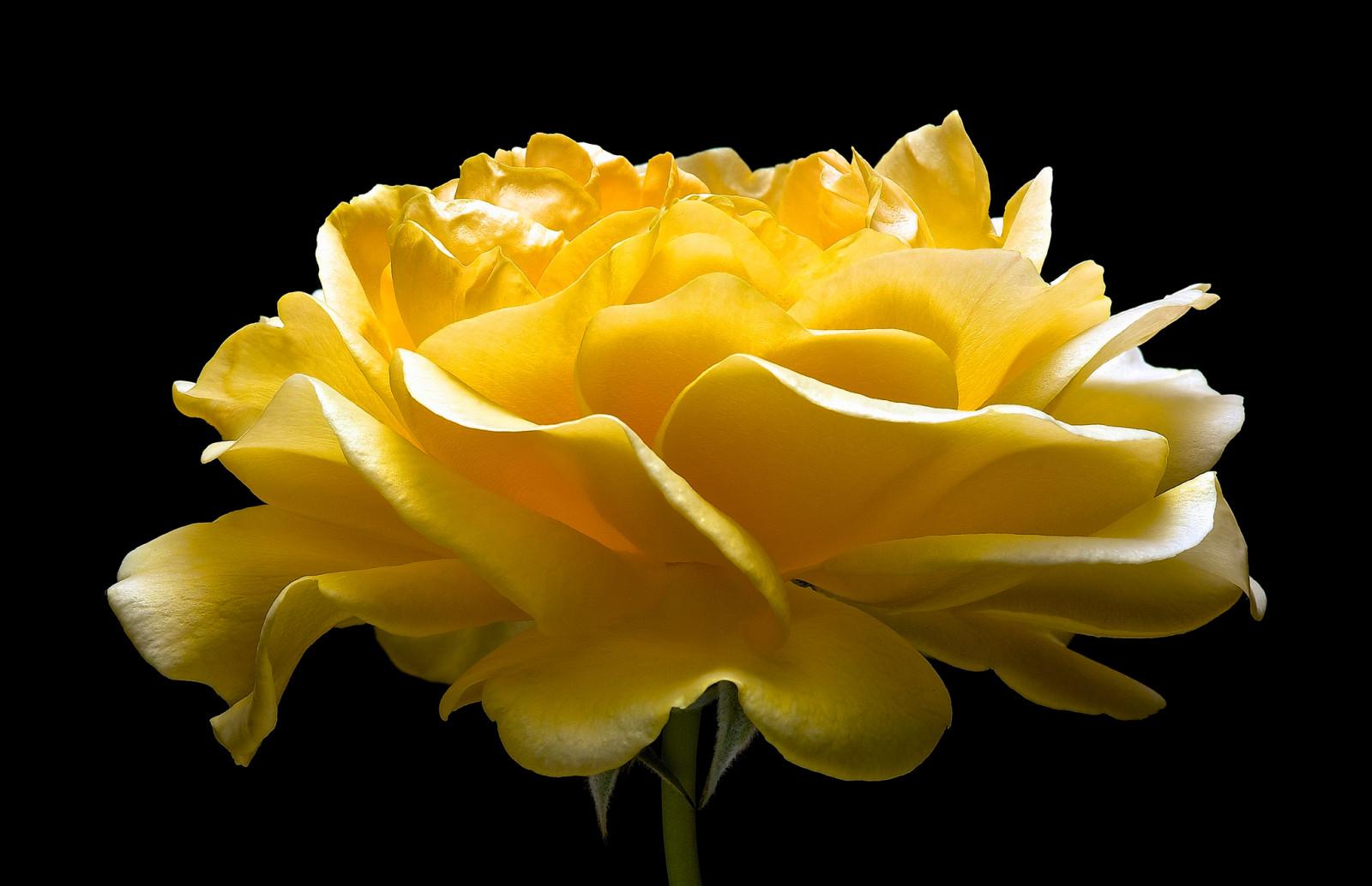 Открыток, картинки желтая роза на черном фоне
