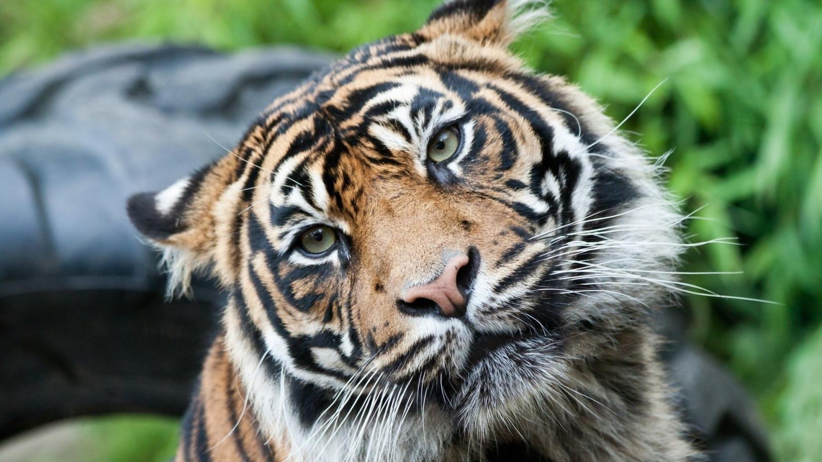 Fond d'écran : 1920x1080 px, tigre, Tigres 1920x1080 - 4kWallpaper - 1905501 - Fond d'écran ...