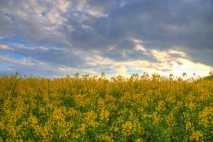 hintergrundbilder sonnenlicht landschaft h gel natur gras himmel feld gelb morgen hdr. Black Bedroom Furniture Sets. Home Design Ideas