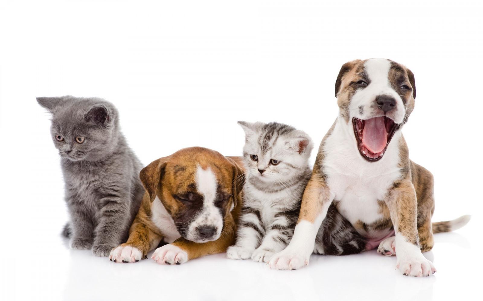 hintergrundbilder katze tiere wei er hintergrund hund babytiere s ugetier hunderasse. Black Bedroom Furniture Sets. Home Design Ideas