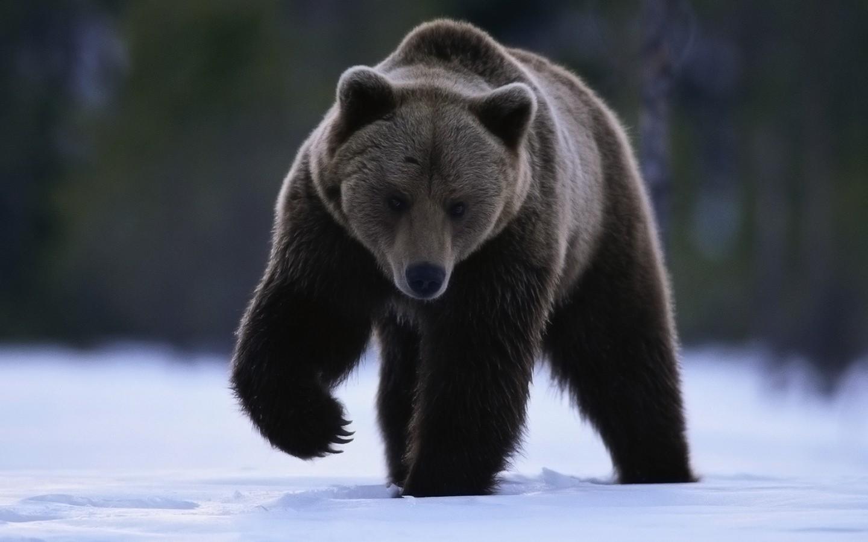 Animals Snow Bears Grizzly Bear Brown Fauna Mammal Vertebrate Carnivoran American Black