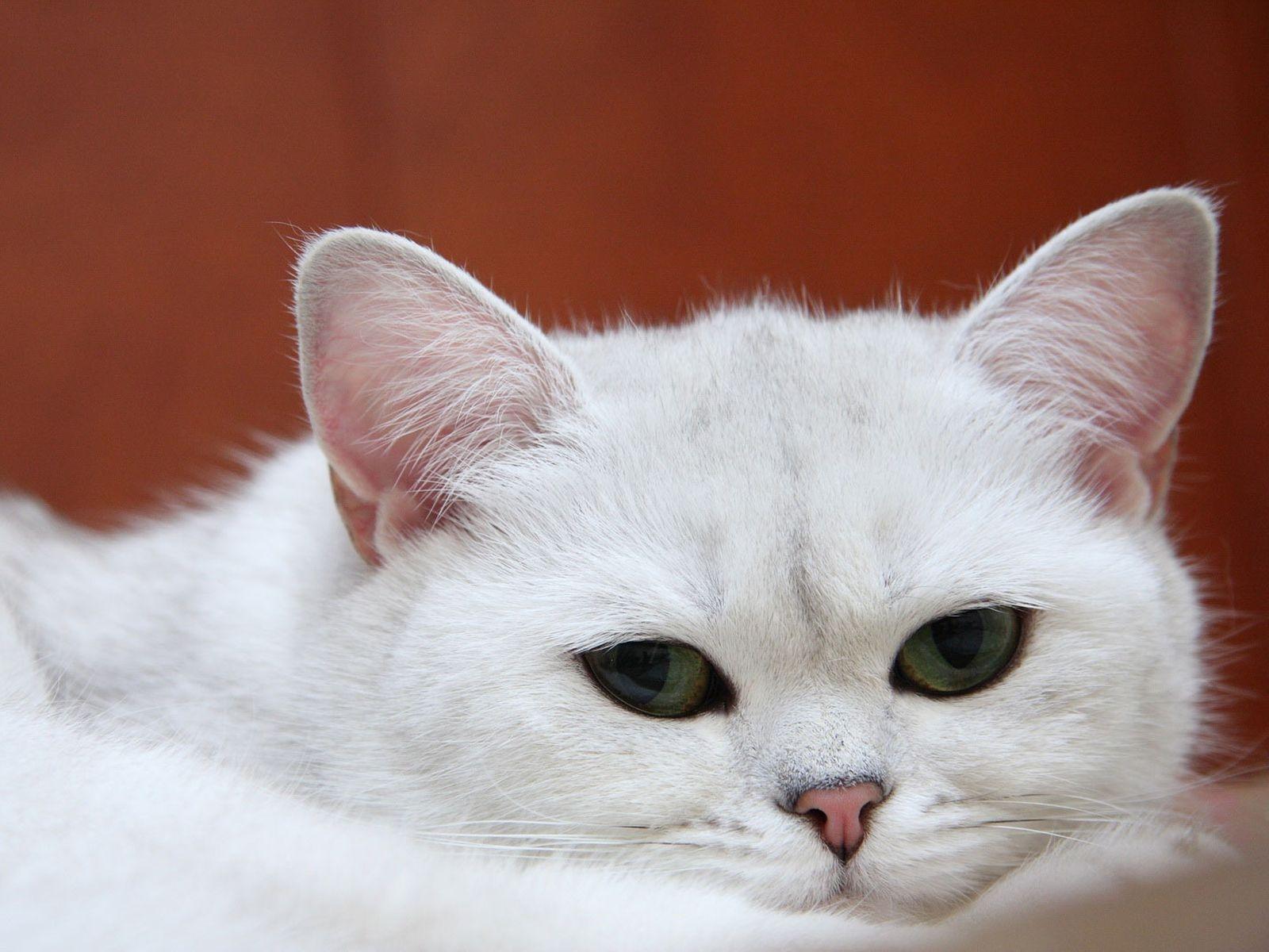 Днем, картинка с белой кошкой