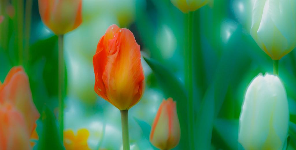 Fiori Gialli Irlanda.Sfondi Fiori Stephensgreen Tulipani Natura Naturaleza