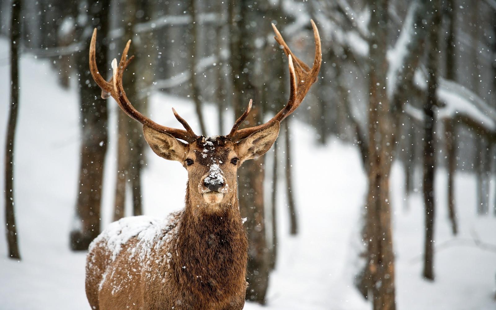 Elch Winter
