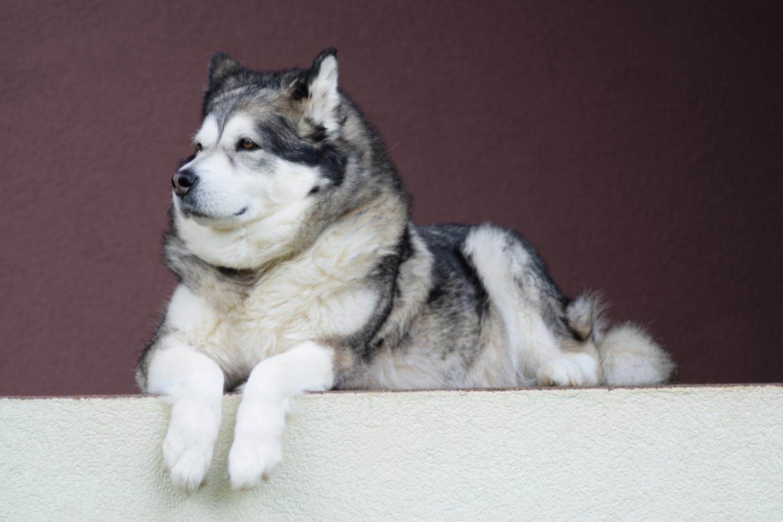 36++ Anjing wolfdog terupdate